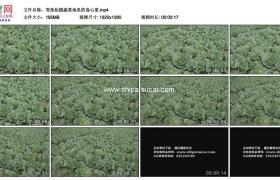 高清实拍视频素材丨变焦拍摄蔬菜地里的卷心菜