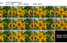 高清实拍视频丨随风轻舞的向日葵