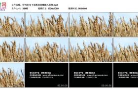 高清实拍视频丨特写阳光下成熟的麦穗随风摇摆