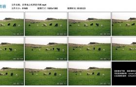 高清实拍视频丨在草地上吃草的羊群