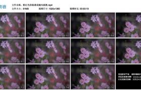 高清实拍视频丨粉红色的格桑花随风摇摆