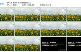 高清实拍视频丨晴空下一片向日葵随风轻摆