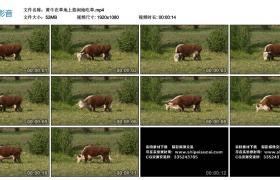 高清实拍视频丨黄牛在草地上悠闲地吃草
