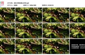 高清实拍视频丨成队的蚂蚁搬运食物
