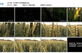 高清实拍视频素材丨农业耕作小麦麦穗摇摄