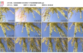 高清实拍视频丨低角度摇摄春天阳光照射下开花的柳树随风摇摆
