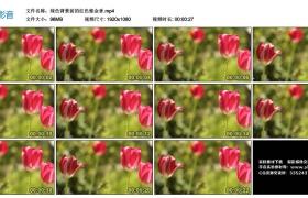 高清实拍视频丨绿色背景前的红色郁金香