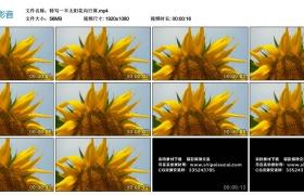 高清实拍视频丨特写一半太阳花向日葵