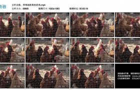 高清实拍视频素材丨养鸡场铁丝网里的鸡