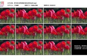 高清实拍视频素材丨特写阳光照射随风摆动的郁金香