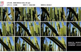 高清实拍视频丨摇摄沙漠里高大的仙人掌