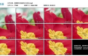 高清实拍视频丨摇摄黄色花蕊的红色花朵