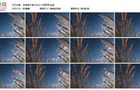 4K实拍视频素材丨仰拍晴天蓝天白云下的野草
