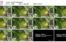 高清实拍视频丨挂在树枝上的青柠檬