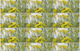 高清实拍视频素材丨特写一只蜜蜂采集金黄色油菜花花粉