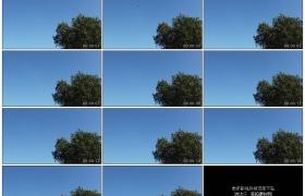 4K实拍视频素材丨夏天蔚蓝的天空前树木随风摆动