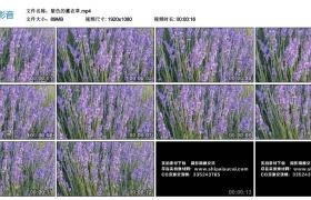 高清实拍视频丨紫色的薰衣草