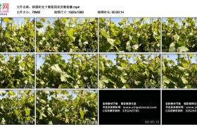 高清实拍视频丨移摄阳光下葡萄园里的葡萄藤