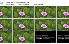 高清实拍视频丨绿叶中一朵粉色的小花随风轻摇