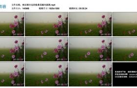 高清实拍视频丨雨后稻田边的格桑花随风摇摆