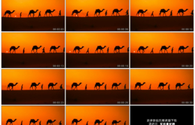 高清实拍视频素材丨牵着骆驼的商队行走在黄昏的沙漠上慢镜头
