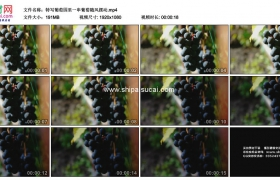 高清实拍视频素材丨特写葡萄园里一串葡萄随风摆动