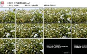 高清实拍视频丨升降拍摄繁茂的雏菊