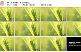 高清实拍视频丨特写逆光下的一支青色麦穗