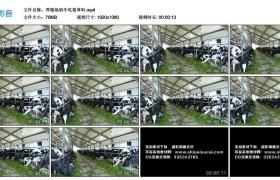高清实拍视频丨养殖场奶牛吃着草料