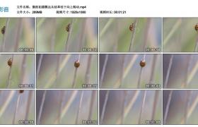 高清实拍视频丨微距拍摄瓢虫从枯草枝干向上爬动