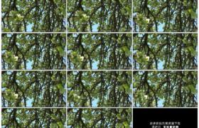 高清实拍视频素材丨春天挂满树叶开花的苹果树树枝