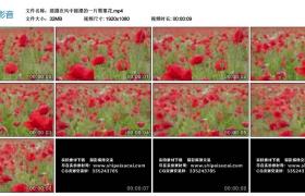 高清实拍视频丨摇摄在风中摇摆的一片罂粟花