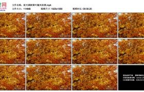 高清实拍视频素材丨秋天满树黄叶随风轻摆