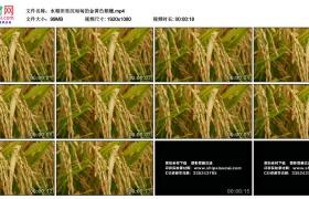 高清实拍视频丨水稻田里沉甸甸的金黄色稻穗