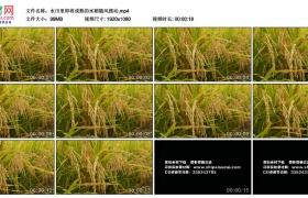 高清实拍视频丨水田里即将成熟的水稻随风摆动