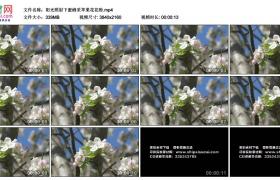 4K实拍视频素材丨阳光照射下蜜蜂采苹果花花粉