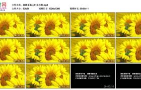 高清实拍视频丨蜜蜂采集太阳花花粉