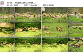 高清实拍视频丨一群幼鹅在湖边的草地上玩耍觅食