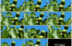 高清实拍视频素材丨特写阳光照射下挂在核桃树枝上的青色果实