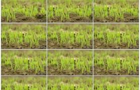 4K实拍视频素材丨向左摇摄土地里栽种的绿色禾苗