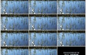 高清实拍视频素材丨春天池塘里的水草长出新芽
