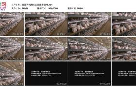 高清实拍视频素材丨摇摄养鸡场里正在进食的鸡