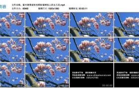 高清实拍视频丨蓝天背景前阳光照射着树枝上的玉兰花