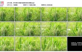 高清实拍视频素材丨特写稻田里随风摇摆的绿色稻穗