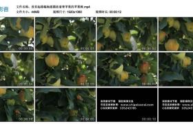 高清实拍视频素材丨没有起落幅地摇摄挂着青苹果的苹果树