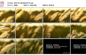 高清实拍视频素材丨黄昏夕阳下随风摆动的芦苇