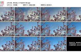 高清实拍视频丨晴空流云下开花的李子树