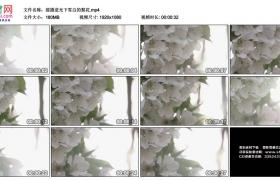 高清实拍视频素材丨摇摄逆光下雪白的梨花