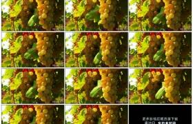 高清实拍视频素材丨阳光照射着葡萄园里的一串串葡萄