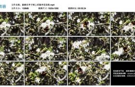 高清实拍视频丨蜜蜂在李子树上采集李花花粉